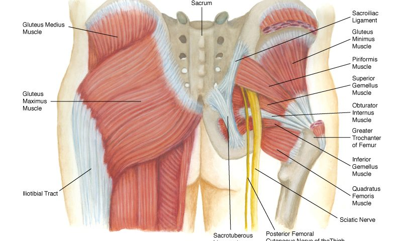 The Buttocks: Your Strongest Muscles - Feldman Wellness Center